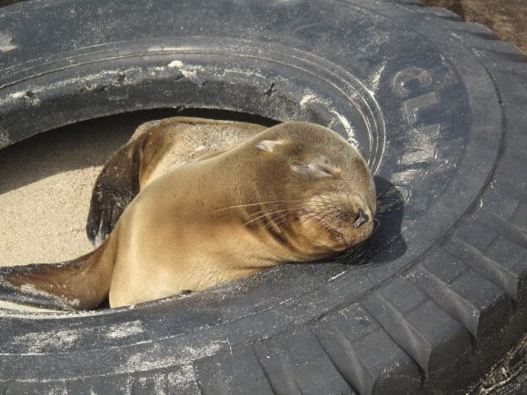 tired seal
